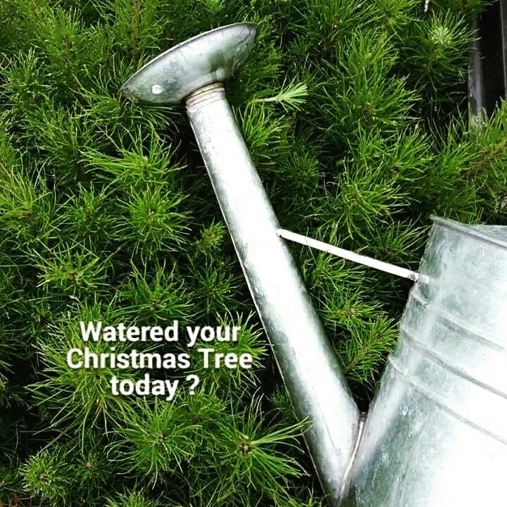 In the Southern Hemisphere its Summer so Christmas Trees need a daily drink.