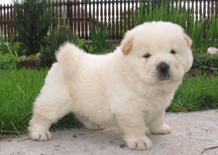 puppy chow chow!