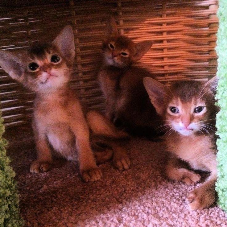 Котята абиссята ) У нас есть свободные котята, девочки и мальчики дикого и соррель окрасов, а также Девон рексы и Египетская Мау ☎️ -+7(985)231-61-81 http://www.abyssin.net #Aby #abyssinian #abyssinianlovers #devon #devonrex #devonrexcat #Egiptianmay #kitty #kittens #cat #cattery #catstagram #прикольноефото #питомниккошек #подарки #питомец #египетскаякошка #египетскаямау #аби #абиссинец #абиссинская #абиссинскиекотята #девон #девонрекс #девонрекскотята #фотокошек