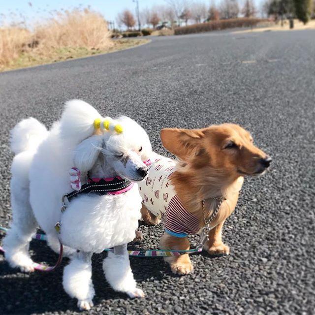 今日から3月🌸 もう3月🌸 春です🌸 . 予報通り晴れたし☀️、風、強〜い🌀 . #散歩 #春の嵐  #ダックスフンド #ダックス #ミニチュアダックス #ミニチュアダックスフント #短足部 #犬 #わんこ #愛犬 #dachshund #dachshundlove #miniaturedachshund #dog #dachs  #犬との暮らし #わんこと一緒 #ふわもこ部 #わんことの生活 #わんことお出かけ #プードル #トイプードル #白プー #ホワイトプードル #顔バリ #コンチネンタルクリップ #toypoodle #poodle