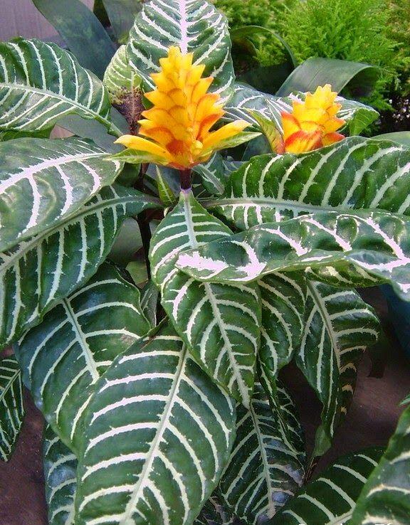 Aphelandra Squarrosa: 42 Best Indoor Plants Images On Pinterest
