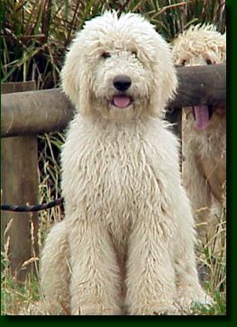 White Labradoodle...cutest dog ever!