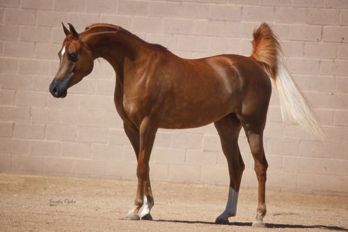 "Arabian Horses by River Valley Arabians - Arabian Horses for sale, Stallions, Mares, Foals, Breeder, Horse Farm ""Love of Valentino"""