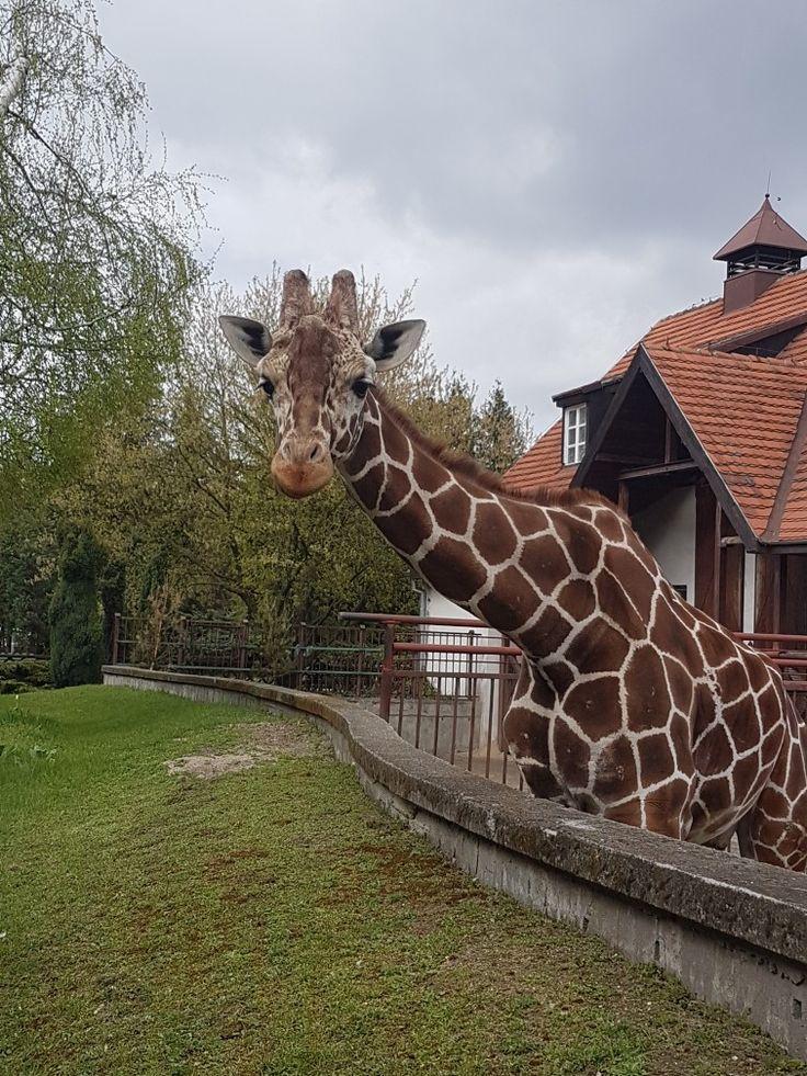 Giraffe, zoo in Wrocław
