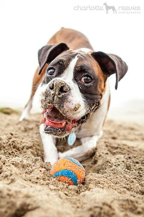"Charlotte Reeves Photography: ""While on the foggy beach at Half Moon Bay near San Francisco, we met up with this very enthusiastic Boxer and his ball. His sandy face just tops it off, from the moment I saw this on the back of the camera I knew I had to share!"""