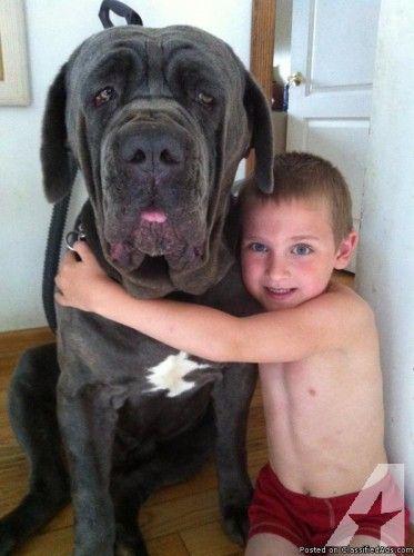 Neapolitan Mastiff Puppies for Sale in Dix Hills, New York ...