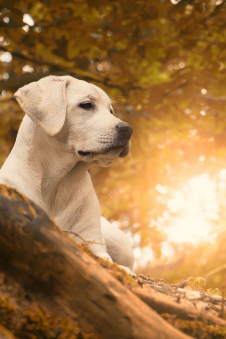 Thirstystone Marsh Masters Occasions Trivet Wayfair Labrador Retriever Labrador Dog Labrador