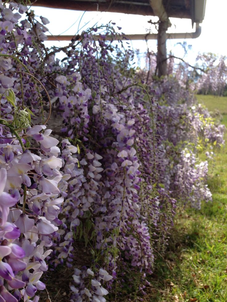 Wisteria on the guest cottage