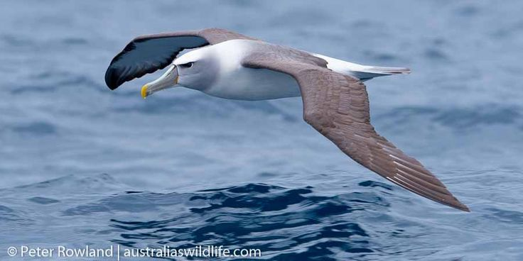 A #Shy #Albatross skims the surface of the #ocean #aus_wildlife