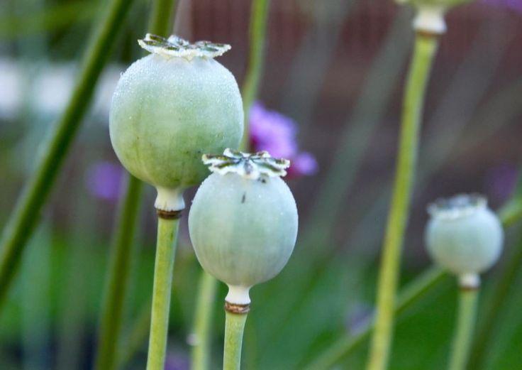 New flowers on it´s way in my garden. Papaver, Laurens Grape