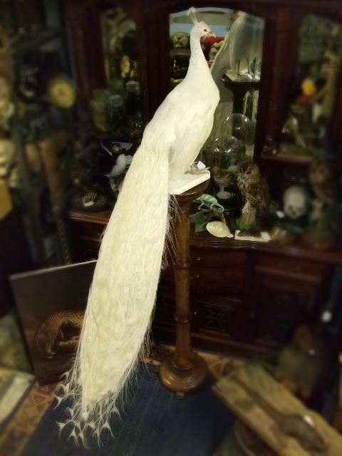 White peacock taxidermy