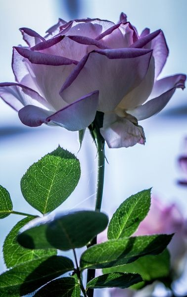 Lavender Rose .. beautiful
