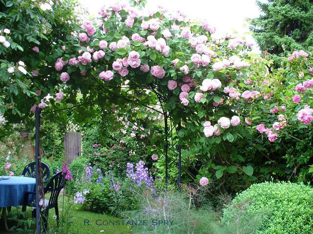 constance spry climbing rose once flowering myrrh. Black Bedroom Furniture Sets. Home Design Ideas