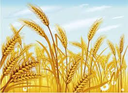 Image result for wheat fields in india