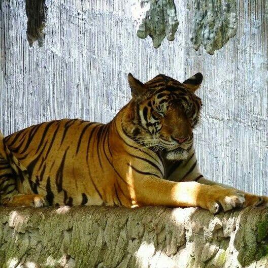 De leeuw in tailand