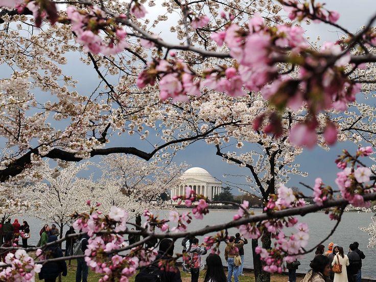 Cherry, cherry blossom, Washington D.C.