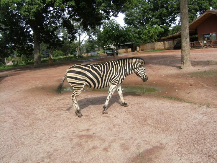 Zebra Safaria a Senegal