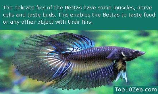 Beautiful betta 39 s a collection of ideas to try about for Freshwater fish facts