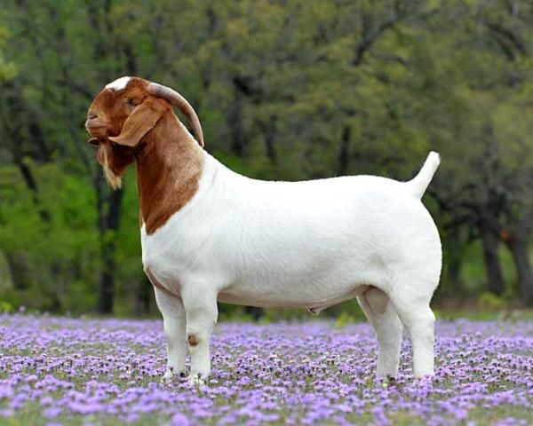 Hard Chargin' BOER GOATS / BOER GOATS FOR SALE IN TEXAS / SHOW ...