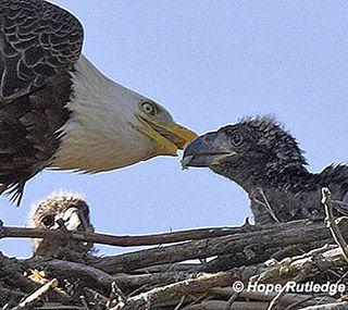 adult eagle feeding eaglet