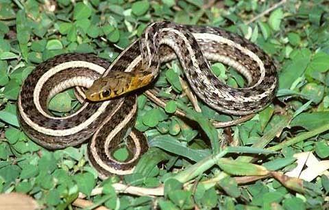 ง ลายสาปดอกหญ า Snake Animals