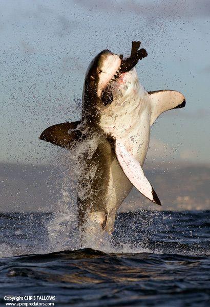 Great white shark having dinner outside Cape Town, South Africa