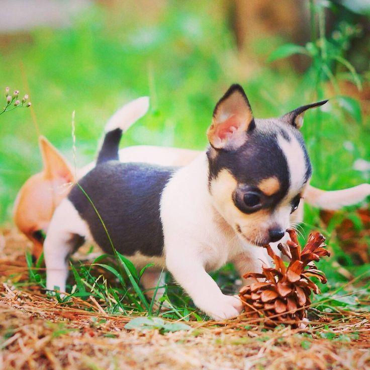 Pin Auf Chihuahua Welpen