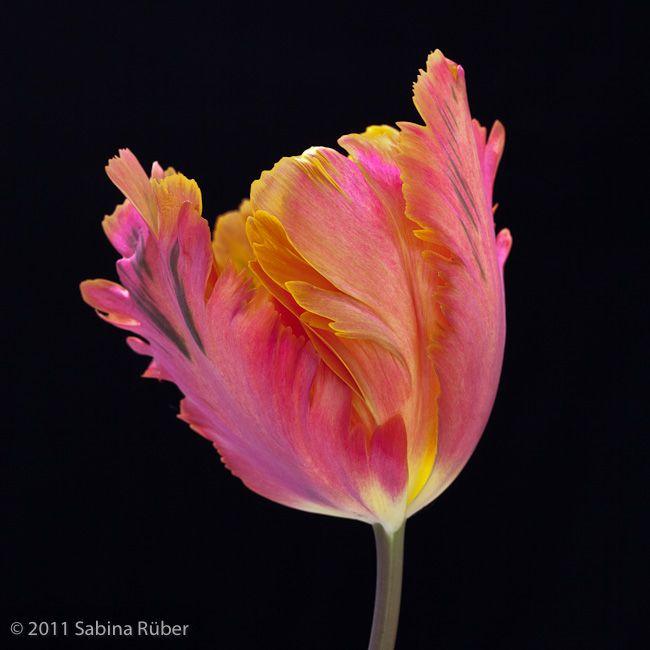 Tulipa 'Orange Favourite'. Photo by Sabina Rüber.