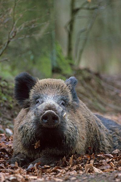 Keiler ruht entspannt auf dem Waldboden - (Schwarzkittel - Wildschwein), Sus scrofa, Boar hog resting relax on the forest floor - (Wild Hog - Feral Pig)