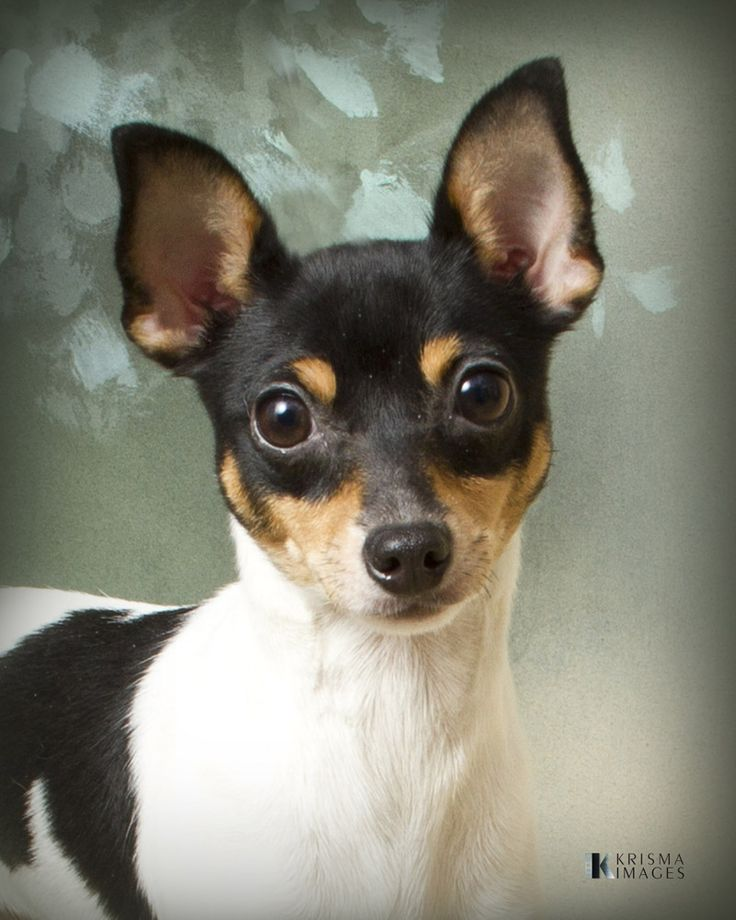 Toy fox terrier - this little cutie looks suspiciously similar to my min pins. Very cute!