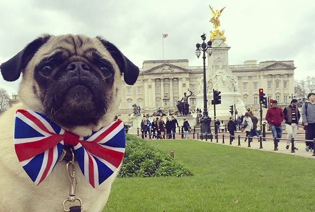 It is time to get to know another awesome pug from the social media scene and this week meet the incredible and inspiring Doug the Pug Therapy Dog. http://www.thepugdiary.com/social-pug-profile-doug-pug-therapy-dog/