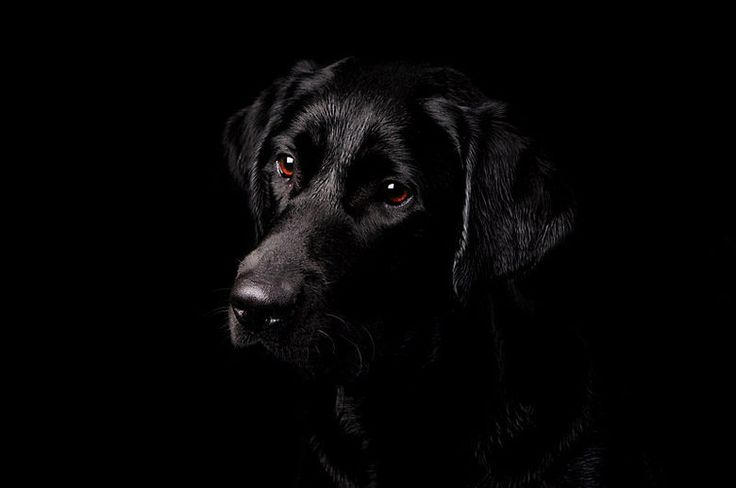 Everyone should have a black lab in their family...