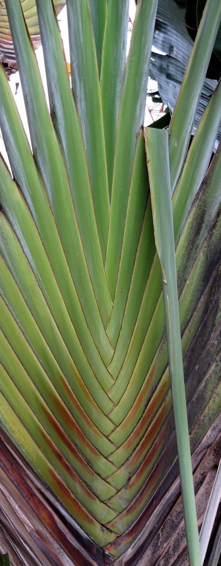 Palma en Borneo
