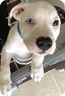 Pictures of Lucy a Boxer Mix for adoption in Groton, MA who needs a loving home.