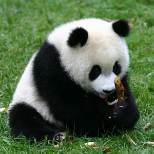 pandas | Human foster care for endangered Pandas | The Recycle Times