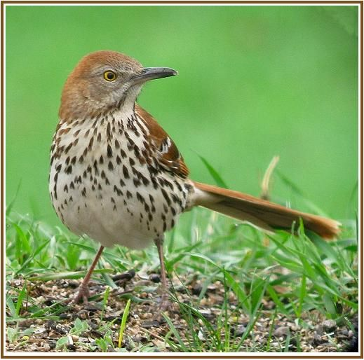 Brown Thrasher Bird -The Brown Thrasher is a bird in the family Mimidae, which also includes the New World catbirds and mockingbirds