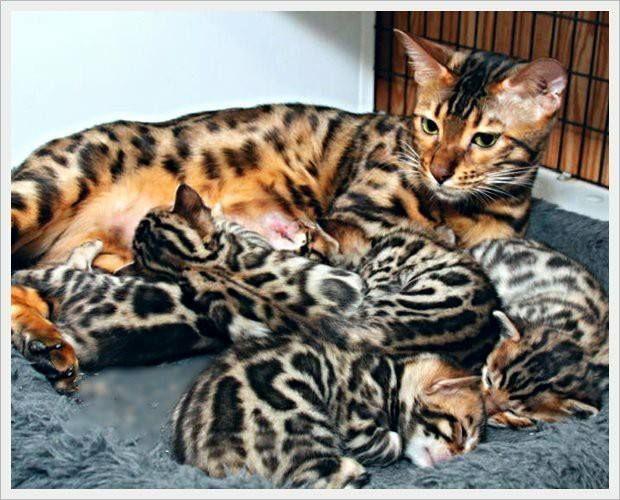 Bengalcat Bengal Kitten Bengal Cat Cats And Kittens