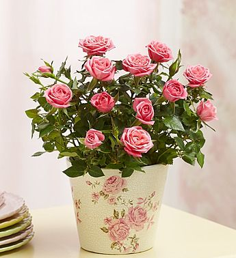 Guide for Growing Miniature Roses Indoors - Miniature Rose Care.  Hubby bought me one for Valentine's Day, but I think it will be best to plant it outdoors this spring.