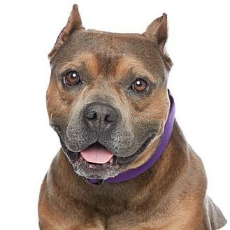 Los Angeles, CA - American Staffordshire Terrier/English Bulldog Mix. Meet Morty, a dog for adoption. http://www.adoptapet.com/pet/14736924-los-angeles-california-american-staffordshire-terrier-mix