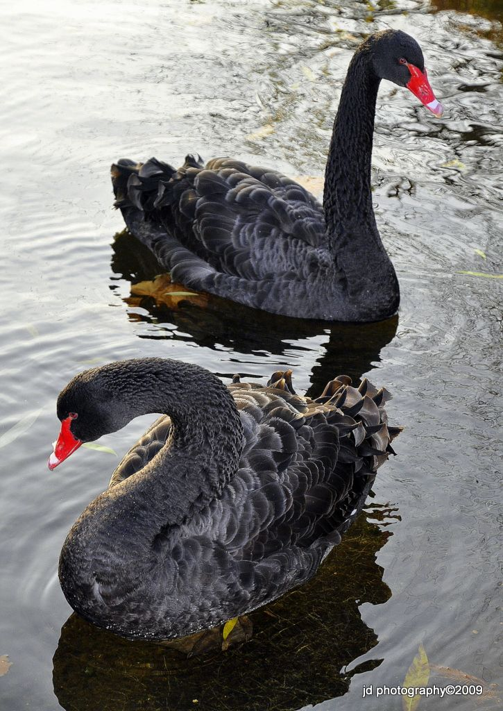 Black Swans - Photo by Photographer Joyce Dela Paz