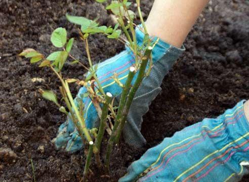 Размножение роз черенками – способ, который как нельзя лучше подходит для любителей. Ведь, этот способ разведения роз считается самым простым. Такое размножение может быть двух видов: летними травянистыми черенками (этот способ более распространенный) и зелеными зимними черенками, древесина которых уже вызрела.