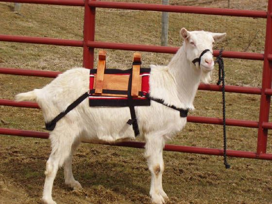 7a48638bec8ce0c14c6af2eb2ae65c09 dwarf goats goat care 66 best goat stuff harness and packs images on pinterest goat harness at crackthecode.co