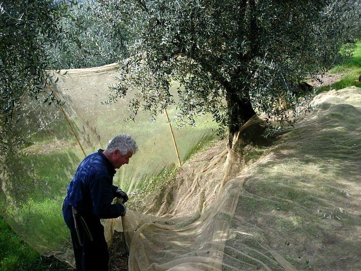 Olive harvest at the Sommaia estate, Calenzano, Firenze, Italy [Photo: Enrico Ponzone]