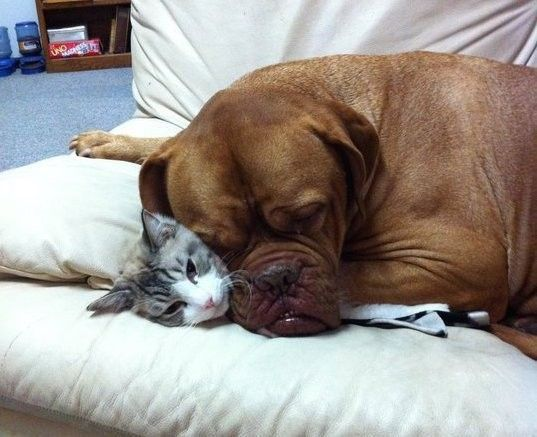 12 Dogs Who Are Smothering The Cat With Their Love