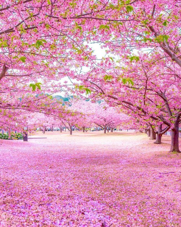 Cherry Blossoms And Nemophila Flowers Are Blooming In Japan Cutesypooh Japanese Landscape Beautiful Nature Beautiful Landscapes