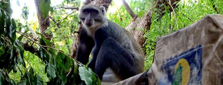Africa's Primates in trouble! Why some hate them and others love them #africa #feedly