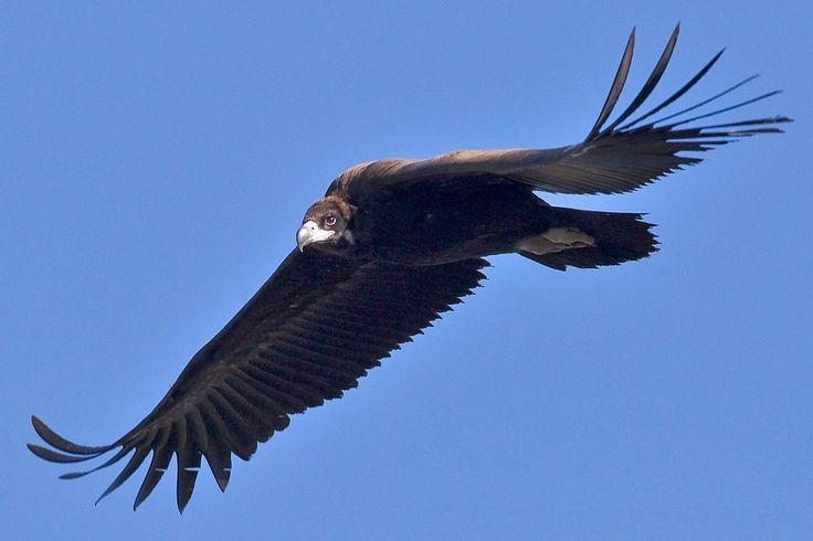 Eurasian Black Vulture - Large Bird of Prey #birds #nature