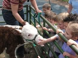 Baby cow - calf - petting for parties and events - Petting zoo animal rental - Irvine, Riverside, LA, Orange County, Santa Ana, and surrounding areas! Newport Beach, Anaheim - children's zoo