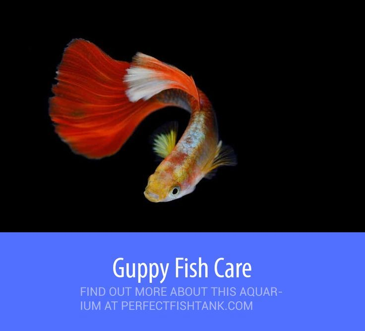 Guppy Fish Care Tank Size Food Breeding And Water Parameters Guppy Fish Fish Care Guppy