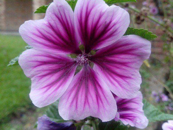 230 Plantas Medicinales Más Efectivas Y Sus Usos Malva Flor Plantas Medicinales Plantas Hiervas Medicinales